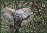 Jong olifantje